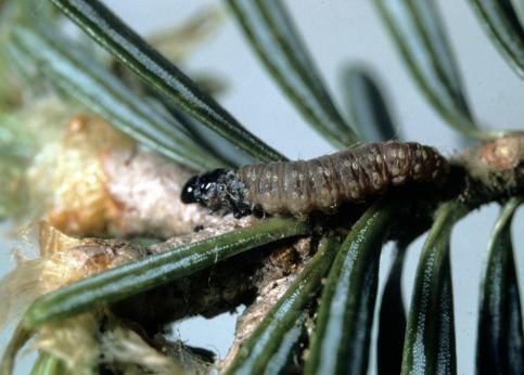 Spruce budworm larva